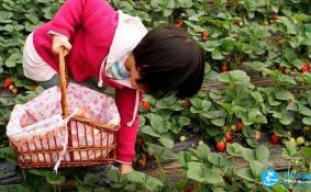 南京摘草莓的地方在哪里 南京摘草莓地方推荐